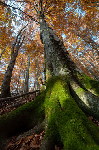 Giant beeches in primeval forest reserve Stuzica Nature Reserve Slovakia Stužica Tree Autumn Beech Fall Forest Green Color Growth Nature No People Outdoors Primary Forest Primeval Forest Scenics - Nature Tranquil Scene Tranquility Tree Tree Canopy  Tree Trunk Trunk WoodLand