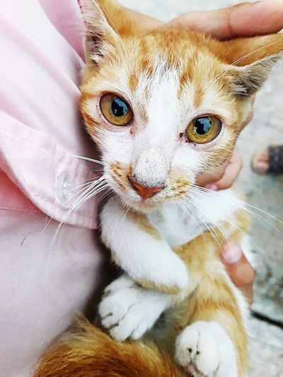 s cat in the embrace and looking at camera Animal Yellowcat White Embrace I Pets Portrait Human Hand Child Looking At Camera Domestic Cat Cute Vet  Close-up