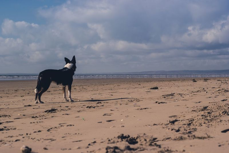 Border Collie Beach Sand Domestic Animals One Animal Animal Themes Sea Sky Pets Dog Beauty In Nature No People Mammal Cloud - Sky Nature Horizon Over Water Outdoors Water Scenics Day