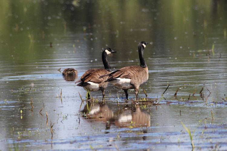 Ducks in a lake