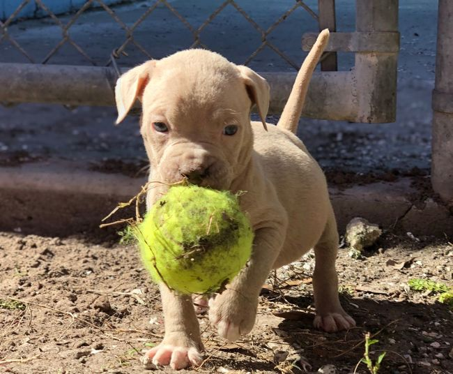 Shelter Puppy Shelter Dog AdoptDontShop Homeless Dogs Animal Abuse Pitbull Puppy Shelter Dog Adopt A Shelter Pet Pitbull Animal Abuse Homeless Dogs One Animal Animal Pets Mammal Domestic Domestic Animals Animal Themes Canine Dog Looking At Camera Portrait Ball No People