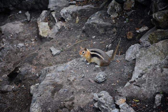 Western Chipmunk, (related Tamias, Striatus, Sibiricus) small striped rodent of the family Sciuridae, found in North America. This one as seen on a hike to Doughnut Falls in Big Cottonwood Canyon, in the Wasatch front Rocky Mountains, Utah, Western USA. One Animal Animal Wildlife Rodent Mammal Animals In The Wild No People Day Nature Vertebrate Outdoors Chipmunk Chipmonk Chitmunk Rocky Wasatch Front Rocky Mountains