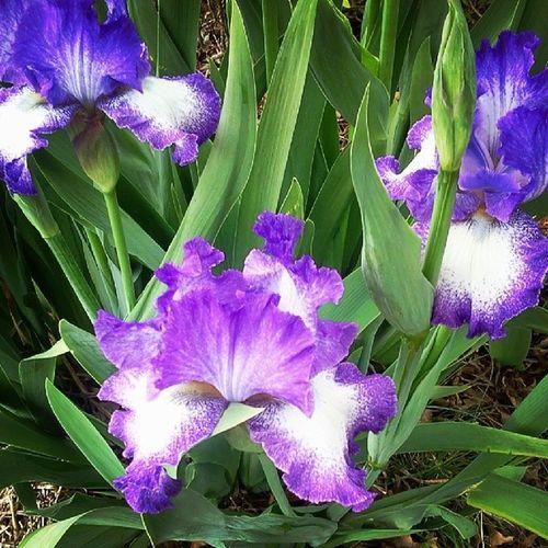 Inlaws Landscape Iris Love artofliving
