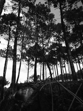 Beauty In Nature Black And White Growth Nature Pine Pinetrees Scenics Sky Tree