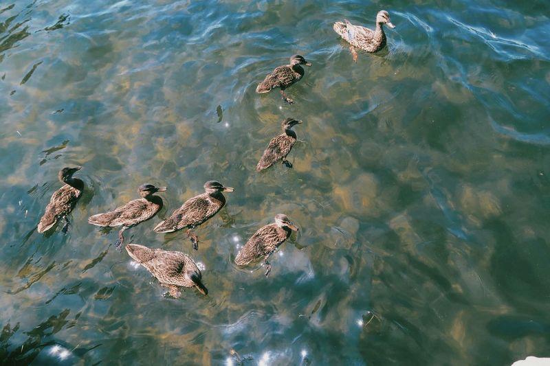 Ducks at the lake