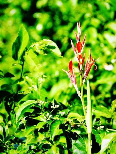 Red Spikes ~ Long Stem Flora Nature Photography Green Leaves Flowers EyeEm Nature Lover Hiking Trail Natural Vegetations Red Flower Newfoundland