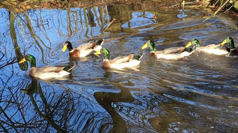 Spiegelung Ducks Duck Ententeich Enten Waterreflections  Water Reflection Water Water_collection Water Reflections