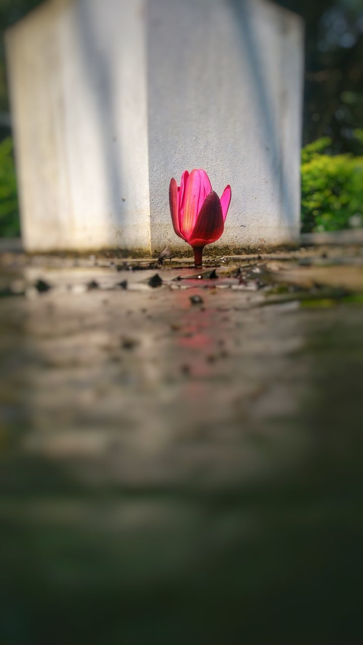 vulnerability, fragility, flower, flowering plant, petal, plant, pink color, beauty in nature, freshness, selective focus, nature, close-up, inflorescence, flower head, water lily, day, growth, water, tulip, no people, outdoors, lotus water lily, surface level