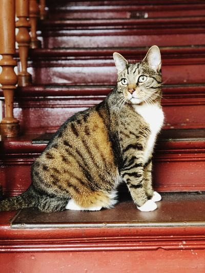Tiger Cat Outdoors Cat Feline Domestic Cat Domestic Animals Domestic Pets Mammal Animal No People Staircase One Animal Indoors  Wood - Material Sitting Portrait