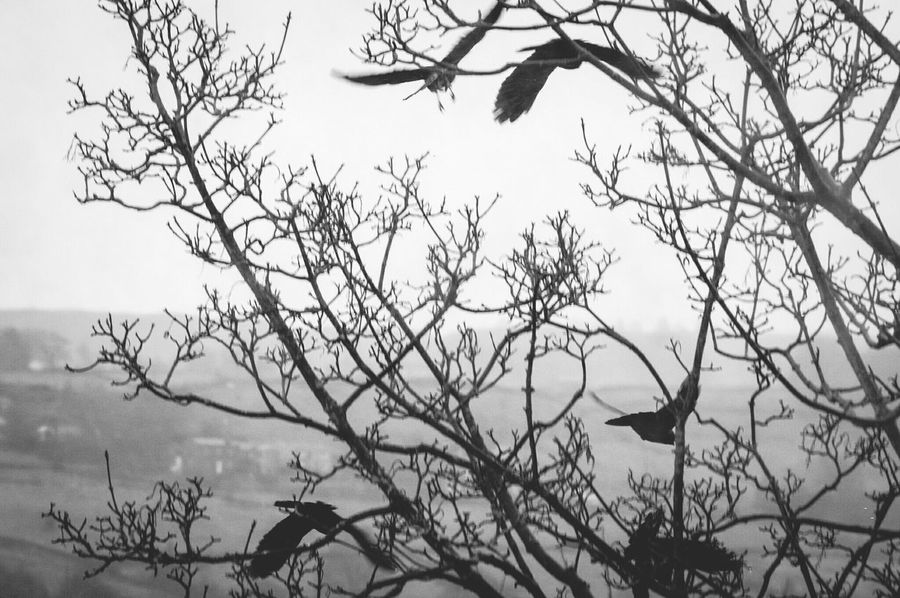 Nature Tree Branch Bare Tree Beauty In Nature Silhouette No People Sky Fog Outdoors Landscape Day Monochrome Black & White Black And White Jackdaws Calderdale Branches Wind Swept Flock Of Birds Landscapes Winter Animal Themes Birds Cold