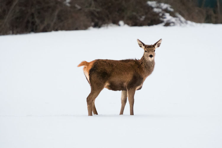 Side view of mammal standing on snow covered land