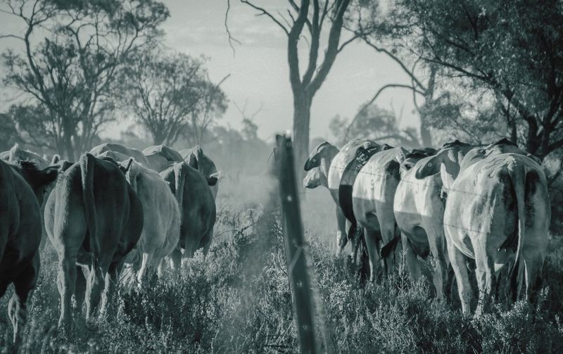 Panoramic Shot Of Cows On Field Against Sky