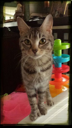 Polydactyl Tabby Cat Meow Kitty Cat