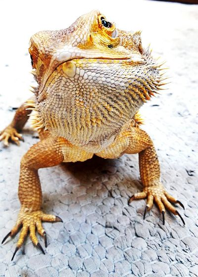 Bartagame Bearded Dragon Echsen Animals Animal