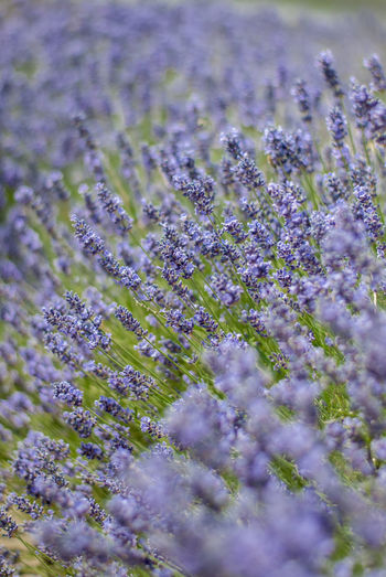 Lavender Freshness Shallow Depth Of Field Beauty In Nature Blue Close-up Day Field Flower Flower Head Flowering Plant Flowers Fragility Freshness Garden Photography Growth Lavender Nature Plant Purple Selective Focus Vulnerability