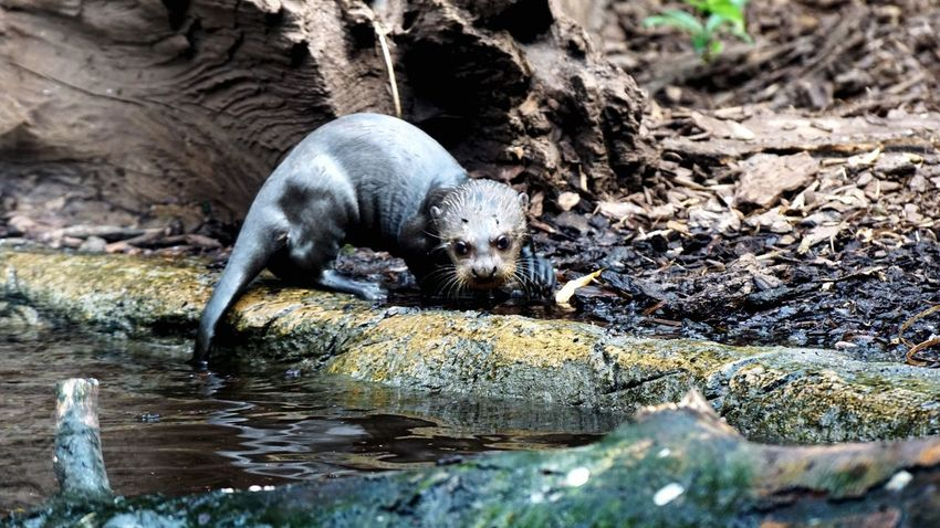 One Animal Animal Wildlife Animals In The Wild Rock - Object Mammal Animal Themes Otter Nature Day Outdoors Water Aquatic Mammal Close-up EyeEm Nature Lover Eye4photography  Beauty In Nature No People Denmark Giveskud