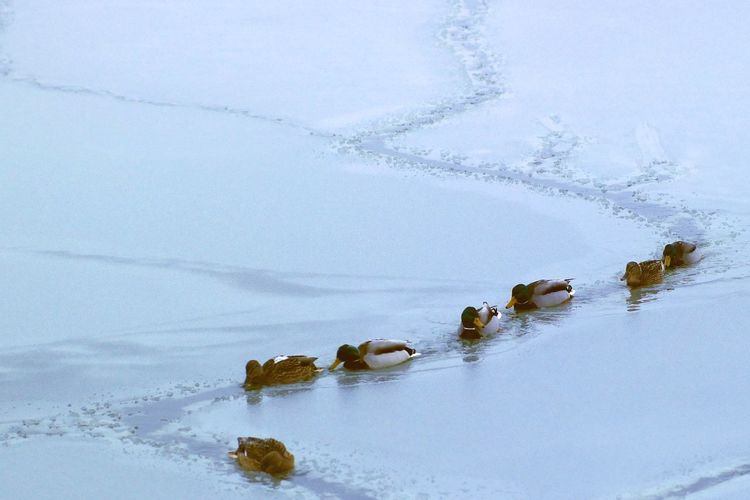 Close-up of ducks in lake during winter