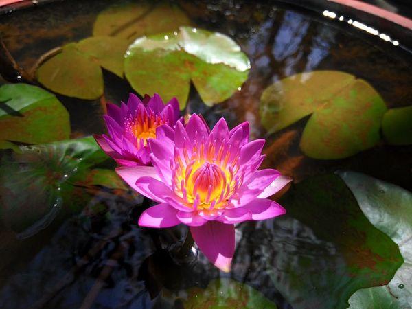 Lotusflower Mobilephotography nofilternoedit Randomshot