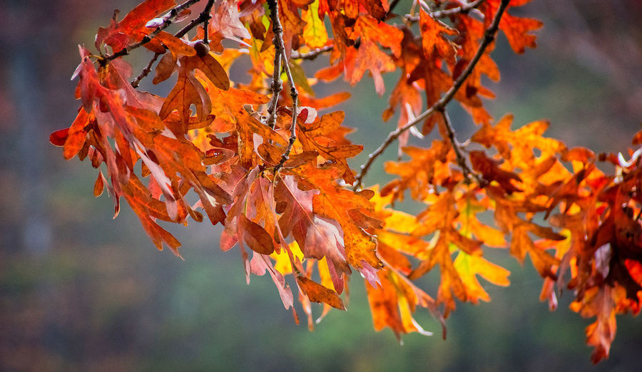 Orange Fall Leaves Autumn Orange Color Change Focus On Foreground Plant Leaf Beauty In Nature Close-up Tree Day Branch Nature No People Vulnerability  Leaves Autumn Collection
