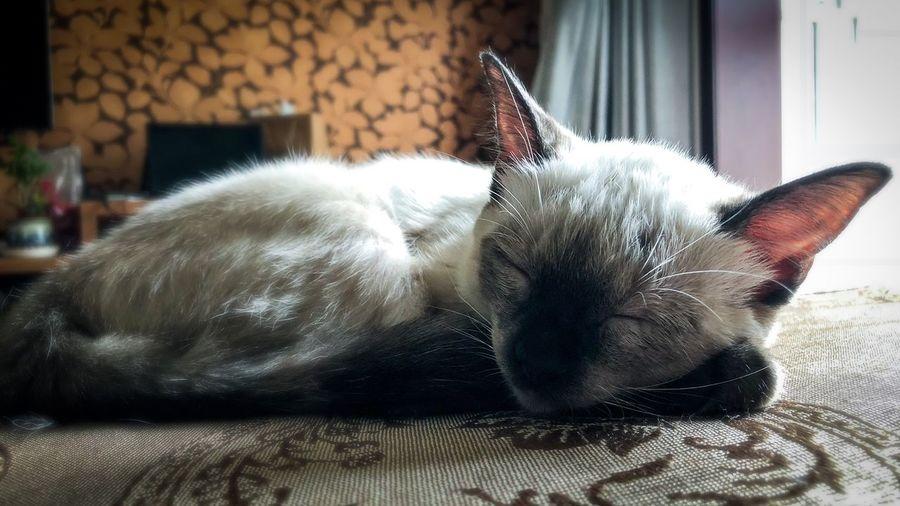 新成员🐱 EyeEm Selects Animal Themes One Animal Animal Mammal Pets Domestic Cat Relaxation Indoors  No People Resting Lying Down Sleeping Domestic Animals Domestic Cat Vertebrate Feline Home Interior