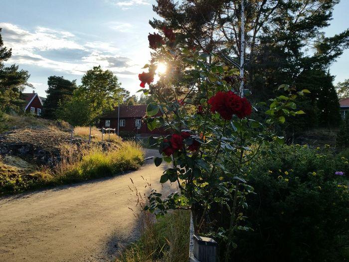 Small Town Roses Garden Golden Hour Swedish Lifestyle Summer Exploratorium