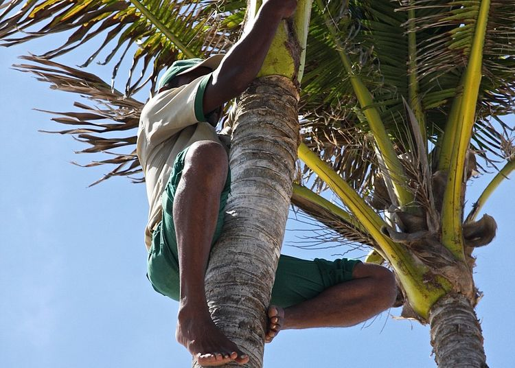 Low Angle View Of Man Climbing Palm Tree Against Sky