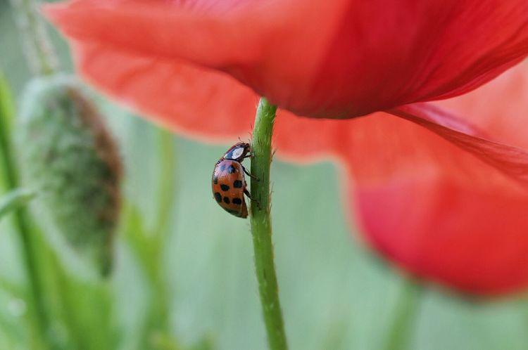 Ladybug Of My Outdoor Terrain Macro Photography Freehandshot Eyemnaturelover Poppy Flowers