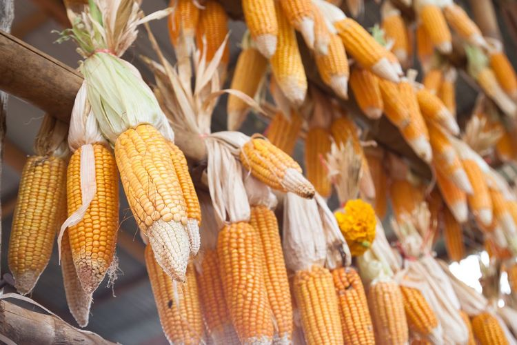 Dried corn for animals hanging in farm Cereal Plant Close-up Corn Corn On The Cob Day Dried Food Dried Fruit Food Food And Drink Healthy Eating Nature No People Outdoors Yellow
