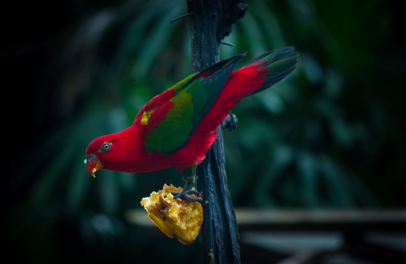 Close-up of red parrot perching on wood with food