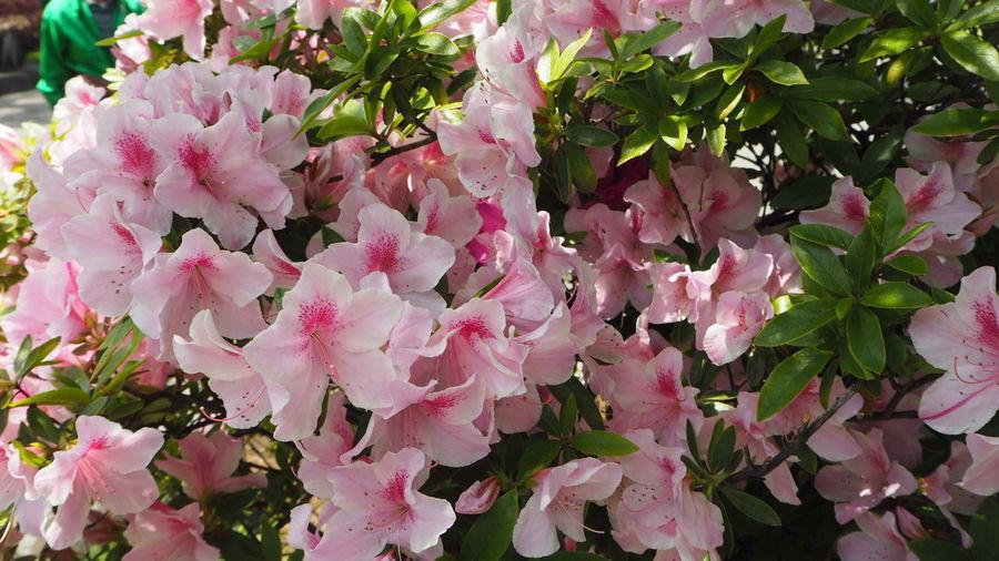 Flowers Pink Flower White Wakana's Photo
