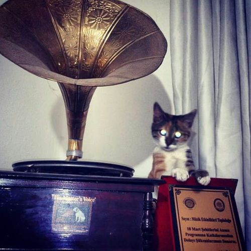 Cats Kedi Gramafon Catlovers #cat #animal #musiciancat #naughtycat #cute #kitten