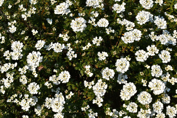 High angle view of white flowering plants in park