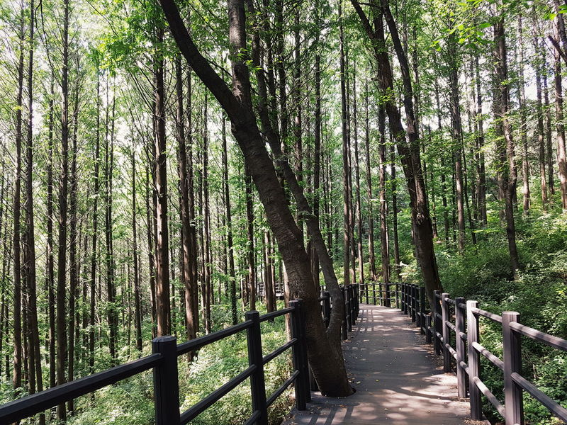 Ansan Ansan Jarakgil Jarakgil Road Walkway Path Forest Woods Nature Mountain Beauty In Nature Seoul Korea Korean Park Travel Tall Trees Lined Up tall trees along the walkway in ansan jarakgil in seoul south korea