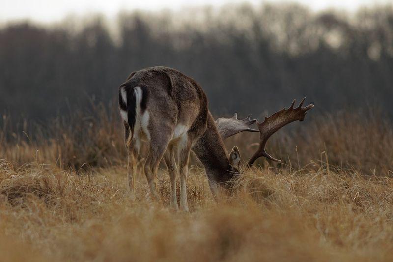 Buck Dunes Of Holland Deer Animal Animal Wildlife Animal Themes Animals In The Wild Mammal Grass No People