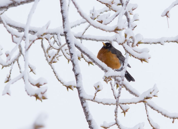 Bird Bird Photography Bird Watching Birds In Branches Birds Of EyeEm  Branches Cold Days No Filter, No Edit, Just Photography No People One Animal Snow Snow Covered Snowing Winter Trees