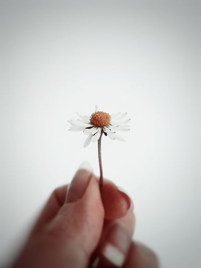 Close-up of hand holding dandelion against white background