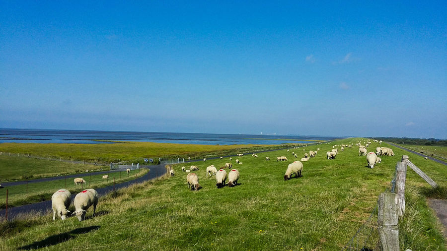 Sheep grazing on field by sea against blue sky