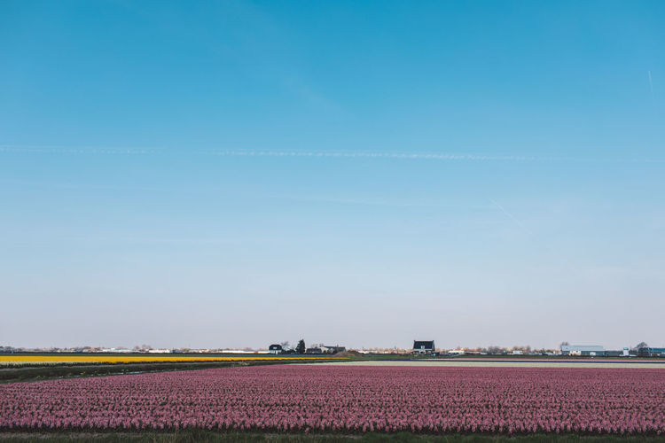 Hyacinth Flower Flowers Cultivated Land Agriculture Landscape Environment Field Sky Tranquil Scene Rural Scene Land Scenics - Nature Tranquility Farm Beauty In Nature Nature Blue Plant Day Crop  Growth Copy Space No People Outdoors Flowerbed