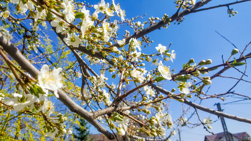 Spring 🌼 Nature Outdoors Beauty In Nature EyeEmNewHere Flower Springtime Day Sky Blue