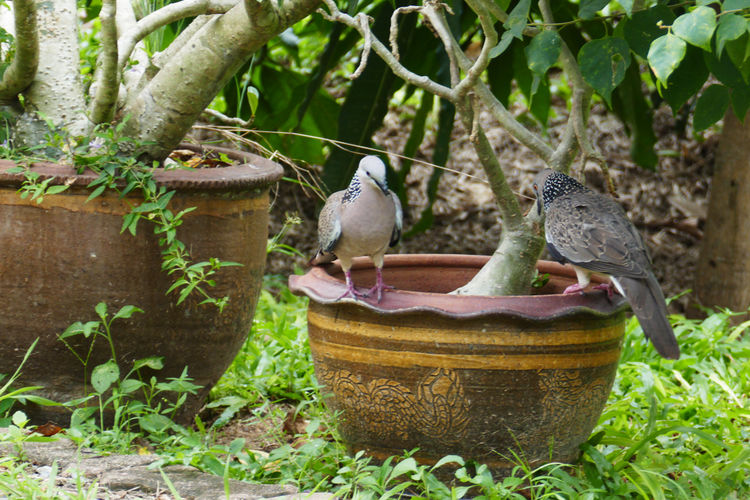 Bird Animal Themes Vertebrate Animal Wildlife Animal Plant Two Animals Outdoors No People Perching Nature Animals In The Wild Group Of Animals Day Growth Tree Focus On Foreground Flower Pot Pigeons Birds In Thailand Green Color Close-up