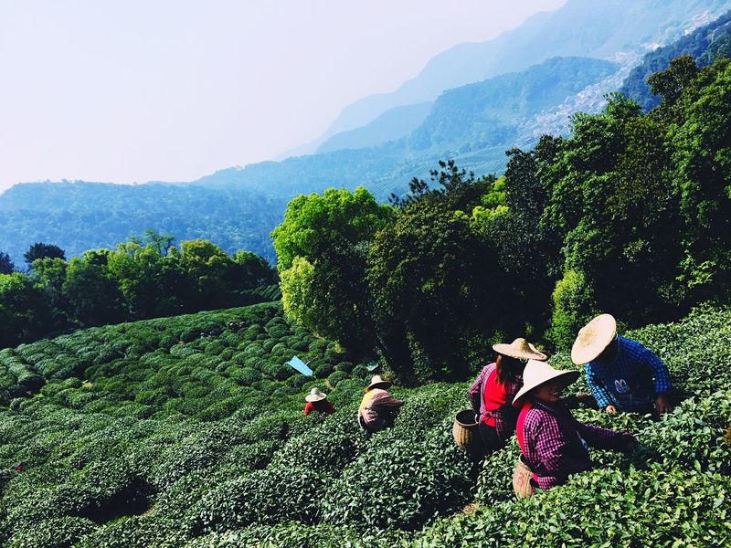 Nice tea workers from Hangzhou, China China Mountains Tea Leaves Agriculture Chinese Hat Workers Old Women Traditional Landscape
