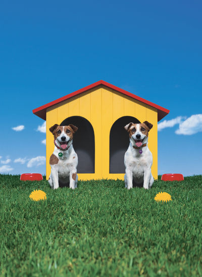 Two Jack Russell dogs move into their new home Blue Sky Blue Sky And Clouds Couple Dog Dogs Duplicate First Home Green Grass Happy Couple Home Home Renovation  Home Sweet Home Jack Russell Kennel Loan  Matching Pair Paint Pair Pet Pet Toy Renovation Twice Twin Twins Two