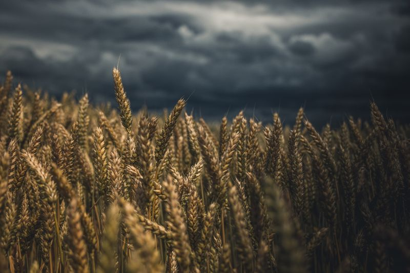 EyeEm Selects Growth Field Crop  Agriculture Cereal Plant Nature Plant Tranquility Wheat No People Day Rural Scene Outdoors Beauty In Nature Sky Ear Of Wheat Close-up