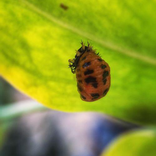 Zwischenzeit - von der Larve zum Marienkäfer Insects  Nature Natural Beauty