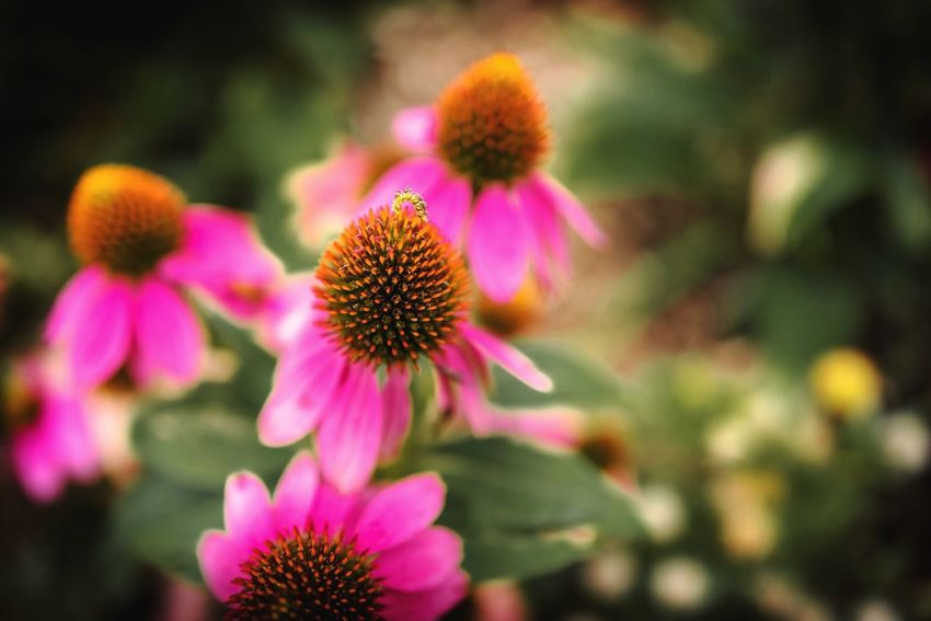 Flower Flowering Plant Freshness Fragility Plant Vulnerability  Petal Flower Head Inflorescence Growth Beauty In Nature Close-up Focus On Foreground Pink Color Coneflower Nature Day No People Pollen Outdoors