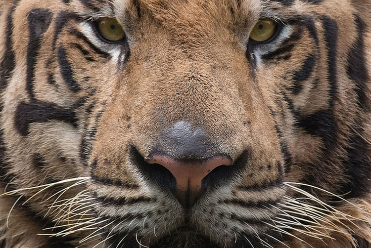 BeNGaL TiGeR Tiger Feline Predator Carnivores Big Cat Apex Canine Tiger Close Up Tiger Eyes  Tiger Face