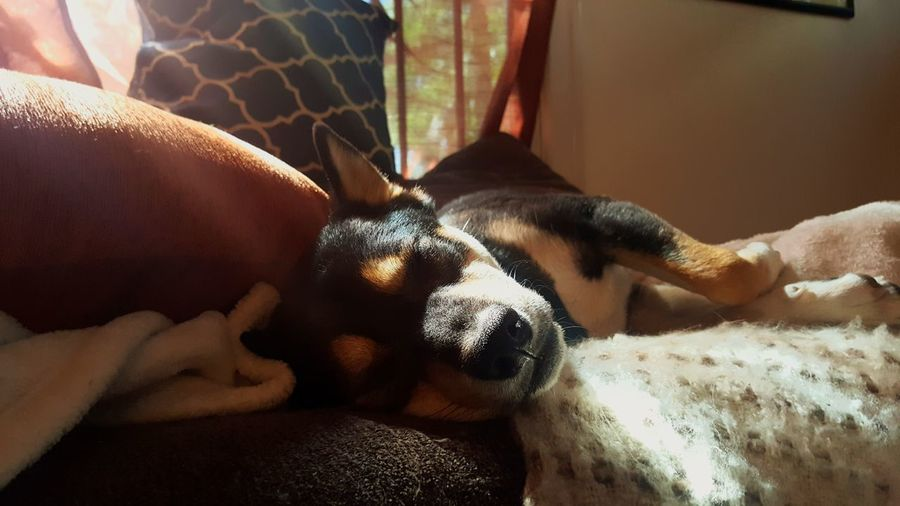 Shiba Inu Pets Dog Mammal Indoors  Domestic Animals Lying Down Close-up Animal Themes Little Rock, Arkansas No People Light Family Togetherness Los Angeles, California Mowgli Sleep Nap Time Pillows Tri Color Unfiltered