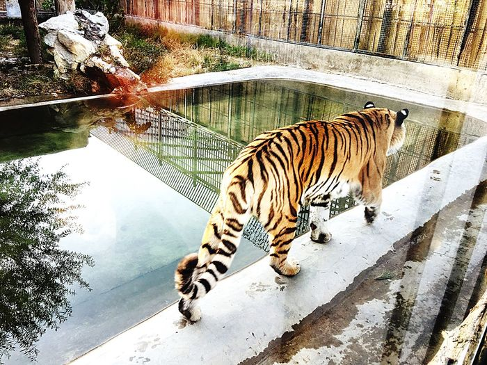 EyeEm Selects One Animal Animal Themes Tiger Animals In The Wild Zoo Animal Wildlife Mammal Animals In Captivity Day No People Animal Markings Nature Full Length Outdoors