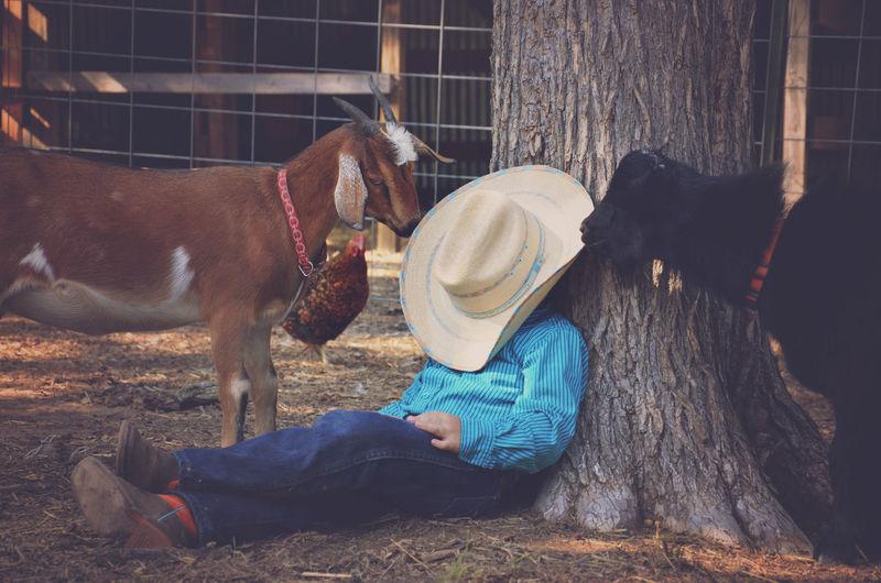Goats near man resting under tree in farm