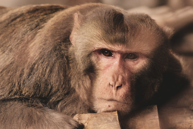 Close-up portrait of monkey relaxing outdoors